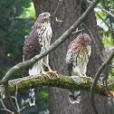 Cooper's Hawks (juvenile)