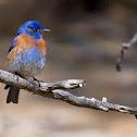 Azulejo (Western Bluebird)