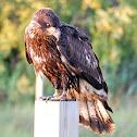 bald eagle(immature)