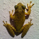 Cuban frog