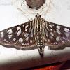 Crambit moth