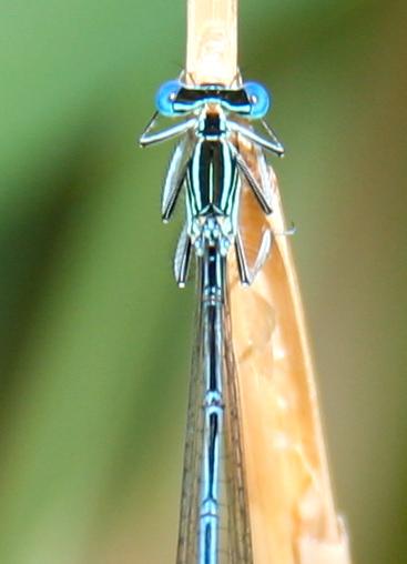 White-legged Damselfly (Blaue Federlibelle)