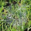 Wolf Spider Web