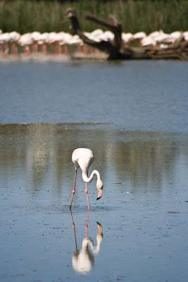 flamants en camargue