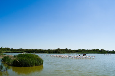 flamants rose en camargue