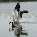 American White Pelican, Cormorant, Coot & Fish