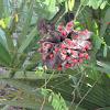Jequirity plant