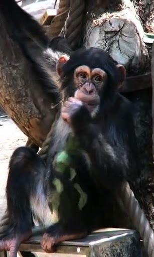 Chimp live wallpaper