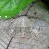 Lononia moth