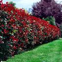 Red-Leaf Photinia