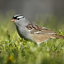 White-Crowned Sparrow (male)