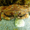 Mediterranean crab. Cangrejo mediterráneo