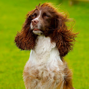 SPRINGER SPANIEL PORTRAIT by James Blyth Currie - Animals - Dogs Portraits ( hereford, sitting, canon7d, springer spaniel, herefordshire, canon70-200mm, dog, portrait )