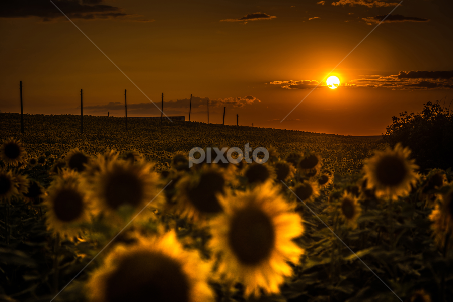 Sunflowers field by Dobrinovphotography Dobrinov - Landscapes Sunsets & Sunrises ( illuminated, plant, the natural world, sunflower, dramatic sky, yellow, beauty, romantic sky, landscape, sun, crop, sky, nature, flower head, light, flower, common sunflower, horizon over land, non-urban scene, green, beautiful, twilight, scenics, agriculture, cloudscape, horizon, beauty in nature, sunlight, dusk, field, daisy family, daisy sunflower, dawn, sunset, cultivated land, moody sky, summer, cloud, rural scene, landscapes, land feature,  )
