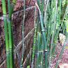 Cola de Caballo, Horsetail Reed