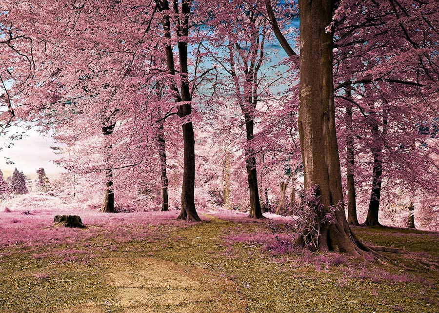 Woodland Grove by Robert Little - Uncategorized All Uncategorized ( #autumn #colours #grass #grove #infrared #leaves #path #pink #sky #trees #woods #blue #candy floss #clouds #pastell #surreal #stump #tree stump #white noise #copse #sappling #treeline #wood #wooded grove, relax, tranquil, relaxing, tranquility,  )