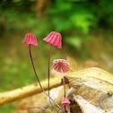 Pink Marasmius