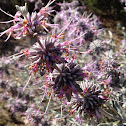 Sagebrush flowers