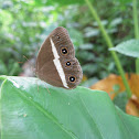 Smooth-eyed bushbrown