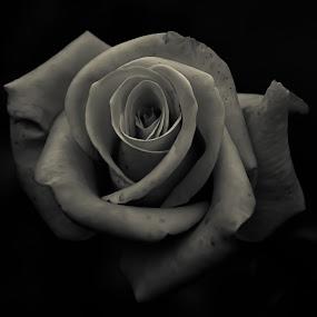 Black & White by Manoj Swaminathan - Flowers Single Flower (  )