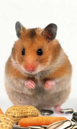 【免費個人化App】Hamster Wallpaper Canlı-APP點子
