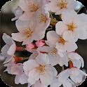 Sakura Wallpapers 2015 icon