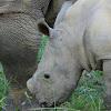 White Rhino baby in the wild