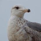 California Gull (Second winter)