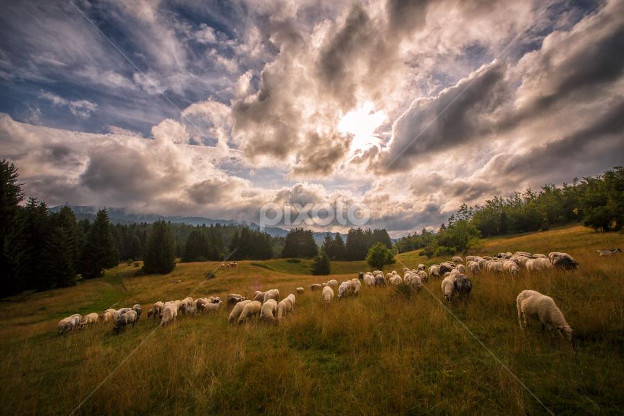 A flock of sheep in the summer by Stanislav Horacek - Landscapes Prairies, Meadows & Fields