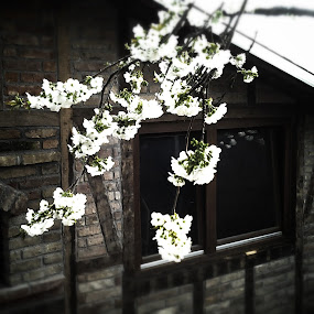 Cherry Tree in the Bloom by Nat Bolfan-Stosic - Flowers Tree Blossoms ( cherry, tree, branch, blossom,  )