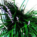 Monkey Grass-Royal Purple
