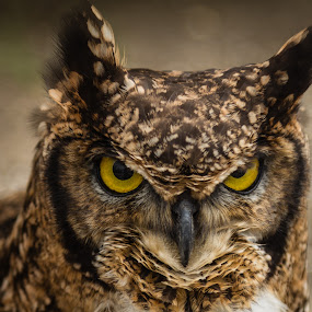 If Looks Could Kill by Eva Lechner - Animals Birds ( african owl, angry, grimpy, portrait,  )