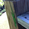 Carolina green anole