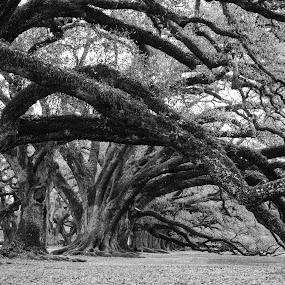 Draping Oaks by Steve Hall - Black & White Landscapes ( oak alley )