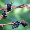 Long-horned digger bees
