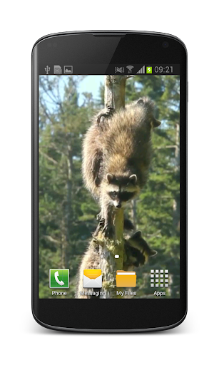 Raccoon Free Video Wallpaper
