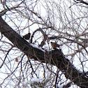 Male and Female American Robin
