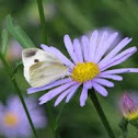 common cabbage butterfly