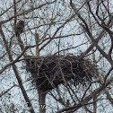 Bald eagle (female & nest)