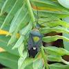giant shield bug