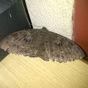 Walkers Owl Moth