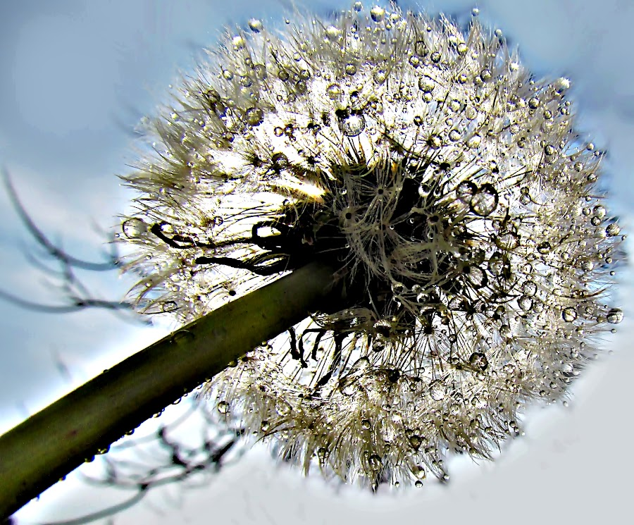 Joy After Spring Rain by Marija Jilek - Nature Up Close Other plants ( dandelion, nature, joy, plants, spring, rain )