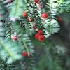 English Yew Berries