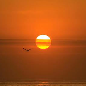 Orange by Matthew Robertson - Landscapes Sunsets & Sunrises ( bird, gull, silhouette, sunset, ocean, sunrise, sun )