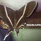 Giant Uraniid Moth