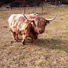 Zottelrind, Highland-cattle