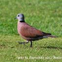 philippine dove