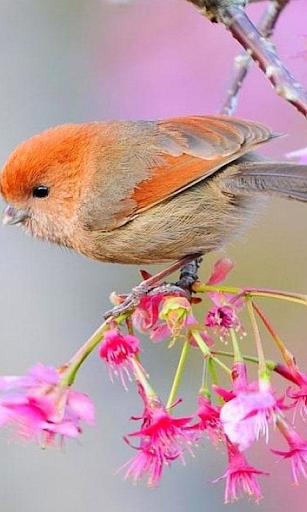 Птахи Живі Шпалери