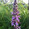 Sumpfziest / Marsh Woundwort