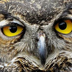 Owl Eyes by Steven Aicinena - Animals Birds ( great horned owl, eyes,  )